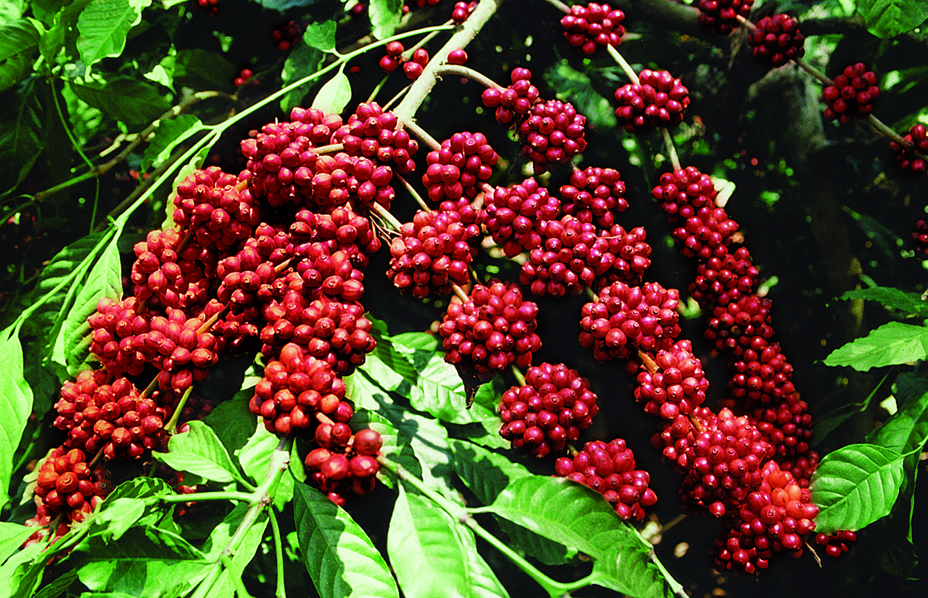 coorg-seeds